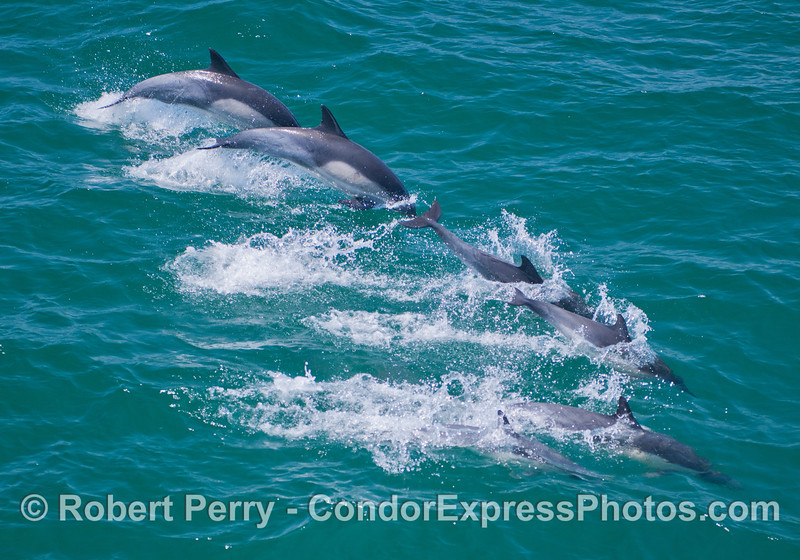 Six common dolphins (<em>Delphinus capensis</em>) demonstrate their synchronized leaping and diving ability.
