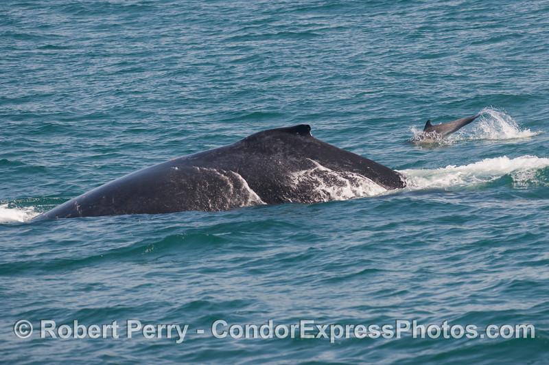 Humpback whale (<em>Megaptera novaeangliae</em>) and common dolphin (<em>Delphinus capensis</em>).