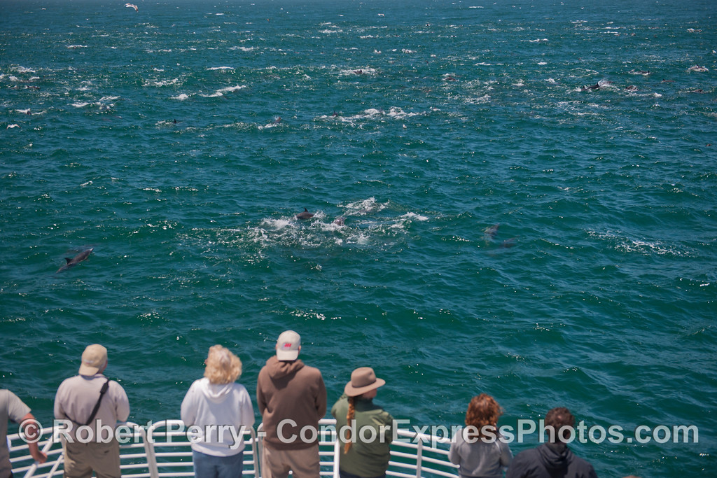 Passengers on the bow of the Condor Express enjoy the mega-pod of common dolphins (<em>Delphinus capensis</em>).  All the whitecaps seen in this image are actually dolphins breaking the surface.