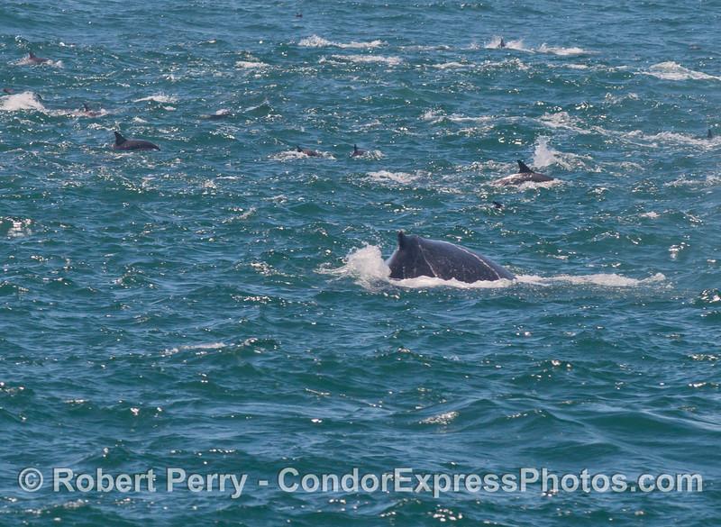 A humpback whale (<em>Megaptera novaeangliae</em>) mixes in with a pod of feeding common dolphins (<em>Delphinus capensis</em>).