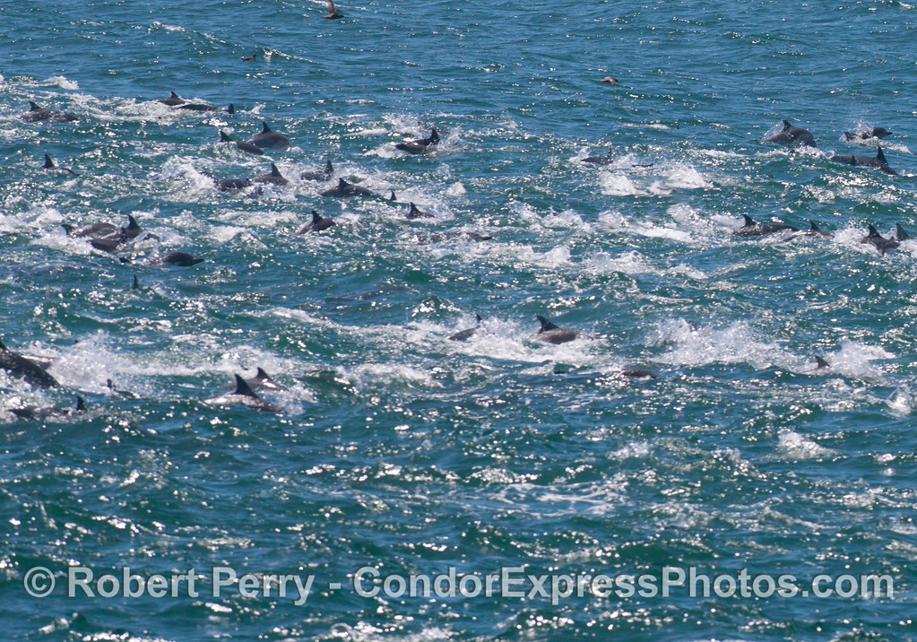 Part of a mega-pod of common dolphins (<em>Delphinus capensis</em>) on an oceanic hot spot.