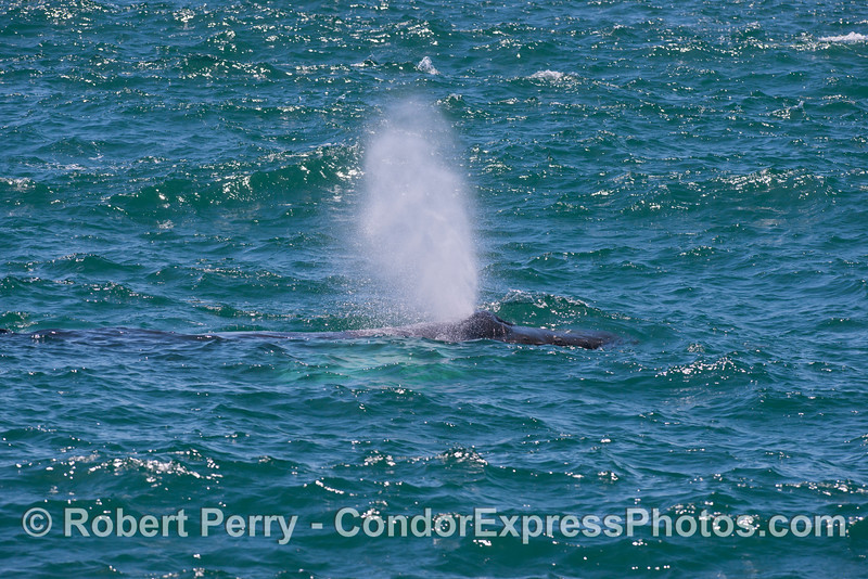A humpback whale (<em>Megaptera novaeangliae</em>) sends up some smoke.