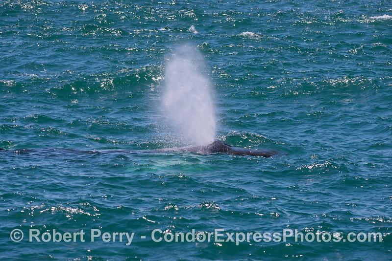 A humpback whale (<em>Megaptera novaeangliae</em>) sends up some smoke.