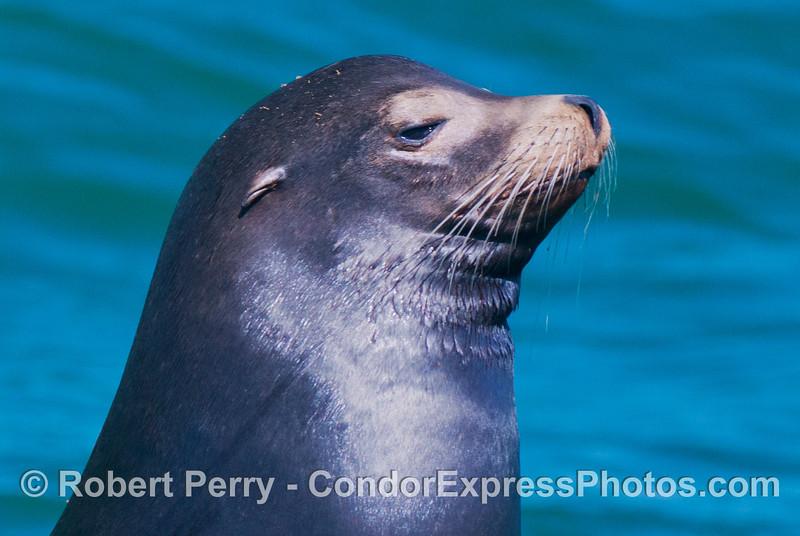 A young male California sea lion (<em>Zalophus californianus</em>) poses in the bright sun.