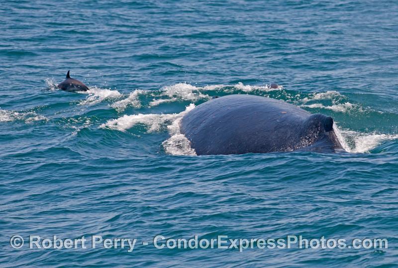 """A humpback whale (<em>Megaptera novaeangliae</em>) with a few common dolphins (<em>Delphinus capensis</em>) riding its """"bow."""""""