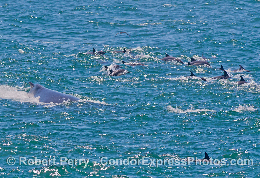 Masses of feeding common dolphins (<em>Delphinus capensis</em>) get a visit from one of their larger buddies...a humpback whale (<em>Megaptera novaeangliae</em>).
