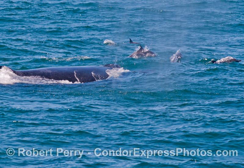 A humpback whale (<em>Megaptera novaeangliae</em>) with a few common dolphins (<em>Delphinus capensis</em>).