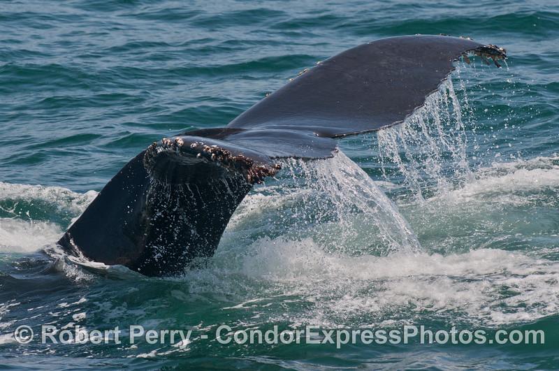 A humpback whale (<em>Megaptera novaeangliae</em>) is seen fluking-up.