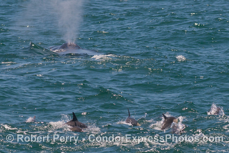 A group of common dolphins (<em>Delphinus capensis</em>) follow a humpback whale (<em>Megaptera novaeangliae</em>).