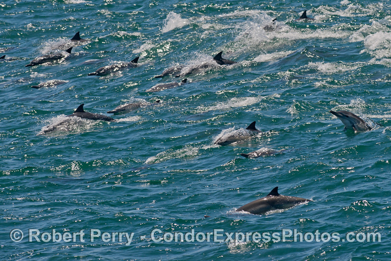 A mass of common dolphins (<em>Delphinus capensis</em>) ride a large open ocean wave.