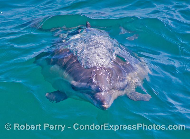 A common dolphin (<em>Delphinus capensis</em>) heads straight for the camera lens.