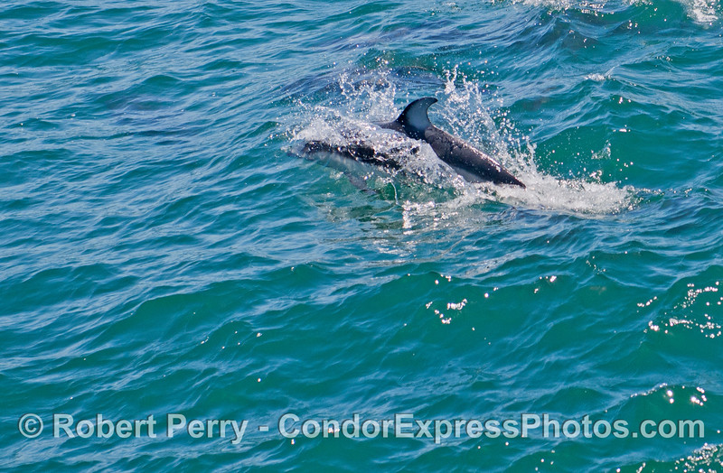 A Pacific white-sided dolphin (<em>Lagenorhynchus obliquidens</em>) is seen leaping.