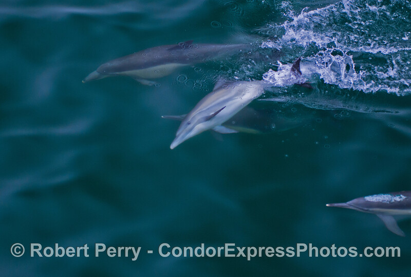 Common dolphins (<em>Delphinus capensis</em>) socializing.