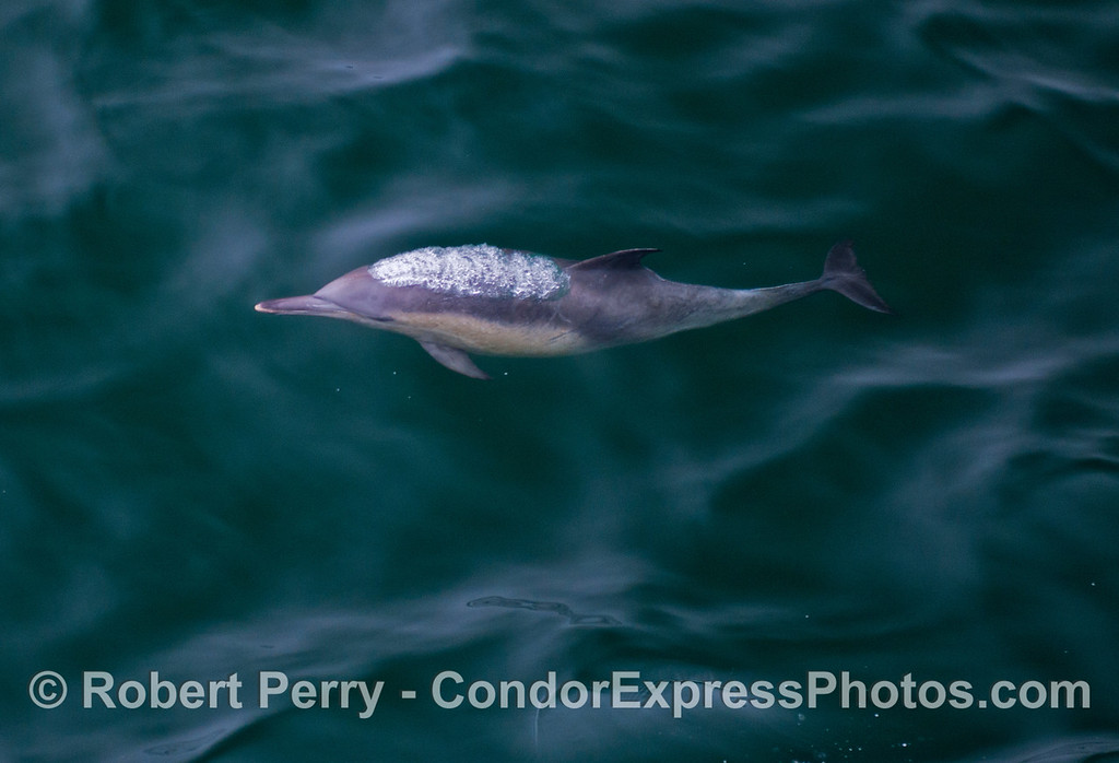 A common dolphin (<em>Delphinus capensis</em>) emits a bubble stream as it rises to the surface to take a breath.