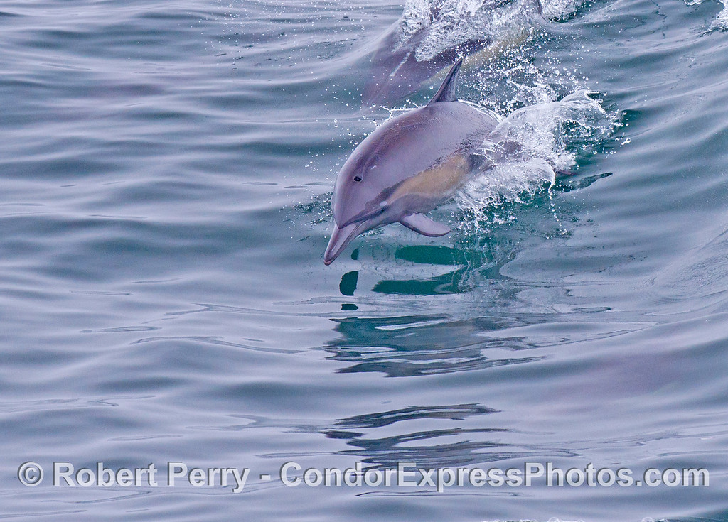 A shiny common dolphin (<em>Delphinus capensis</em>) leaps towards the camera.