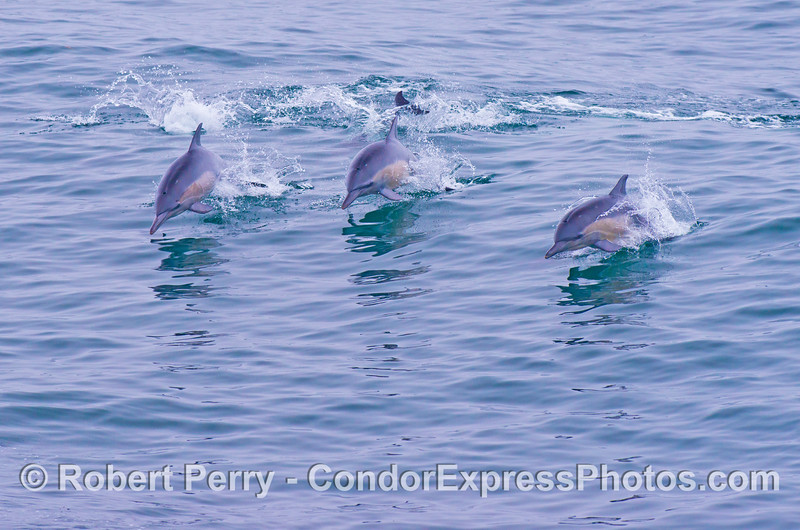 Three leaping common dolphins (<em>Delphinus capensis</em>).