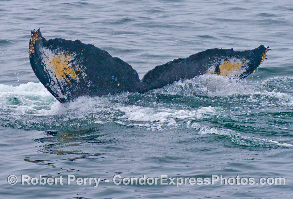 The giant tail flukes of this humpback whale (<em>Megaptera novaeangliae</em>) have multiple color patches.