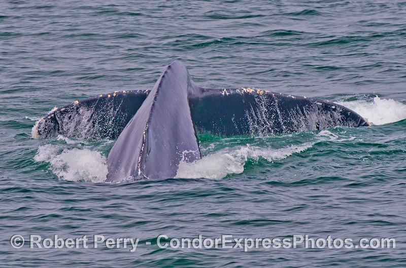The giant tail flukes of a humpback whale (<em>Megaptera novaeangliae</em>).