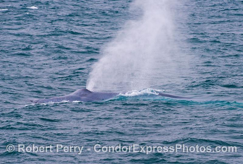 A spouting blue whale (<em>Balaenoptera musculus</em>).