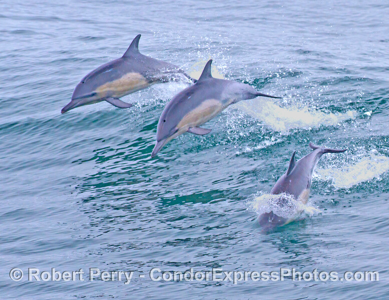More leaping common dolphins (<em>Delphinus capensis</em>).