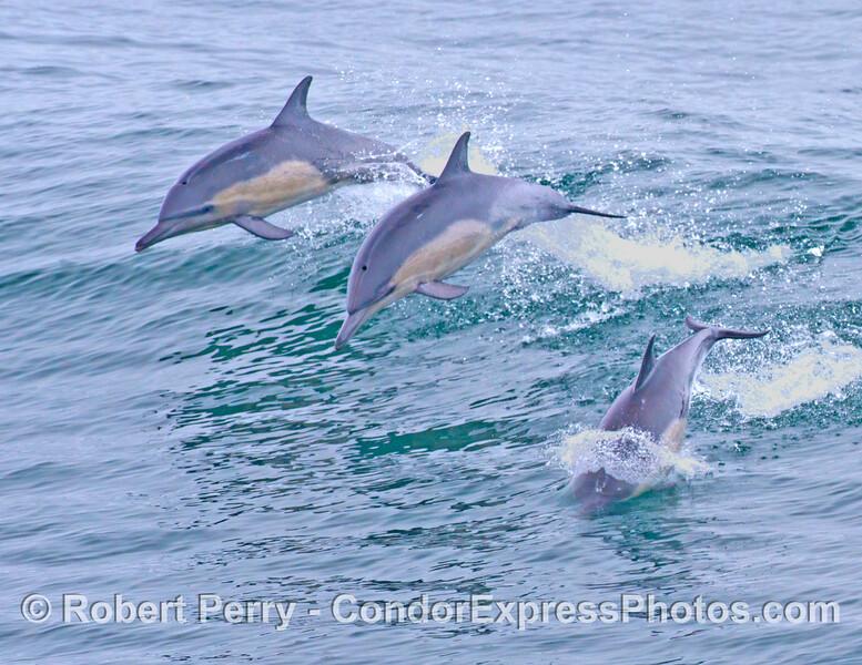 More leaping common dolphins (<em>Delphinus capensis</em>).