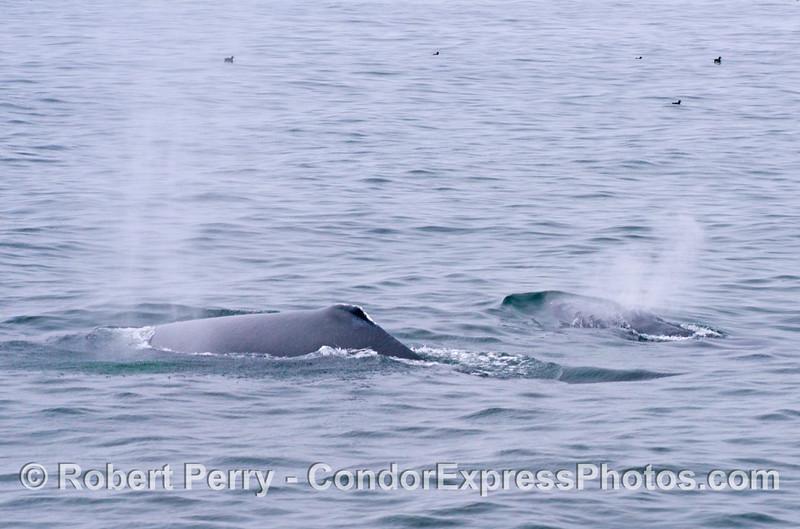 Two humpback whales (<em>Megaptera novaeangliae</em>) spout together.