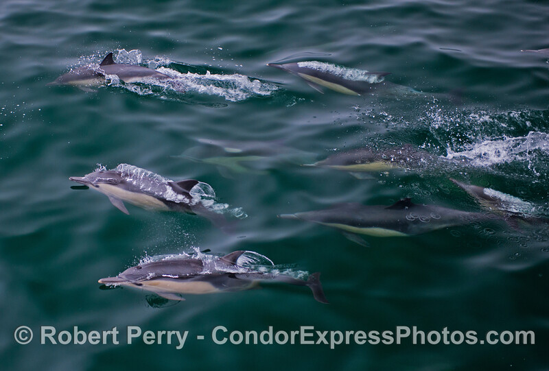 At least nine long beaked common dolphins (<em>Delphinus capensis</em>) swim through jade colored water.