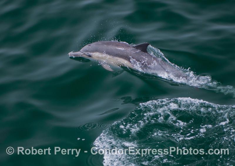 A young common dolphin (<em>Delphinus capensis</em>).