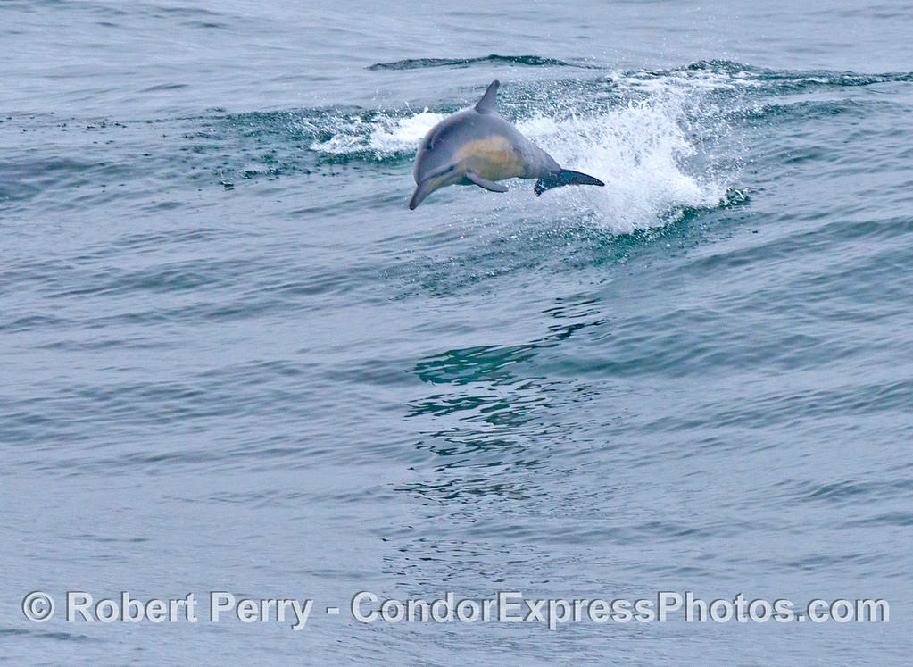 A high flying leaping common dolphin (<em>Delphinus capensis</em>).