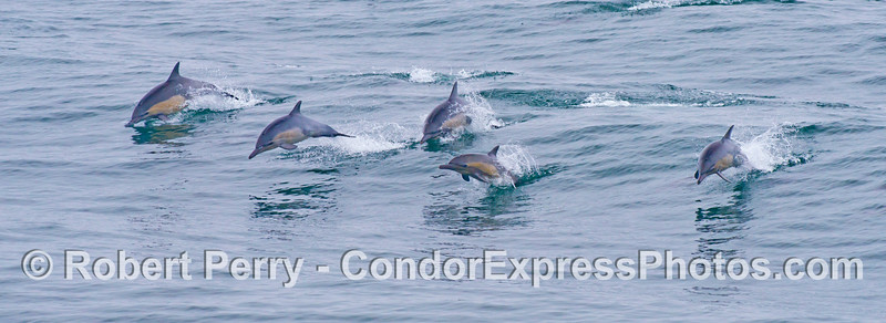 A panorama of leaping common dolphins (<em>Delphinus capensis</em>).