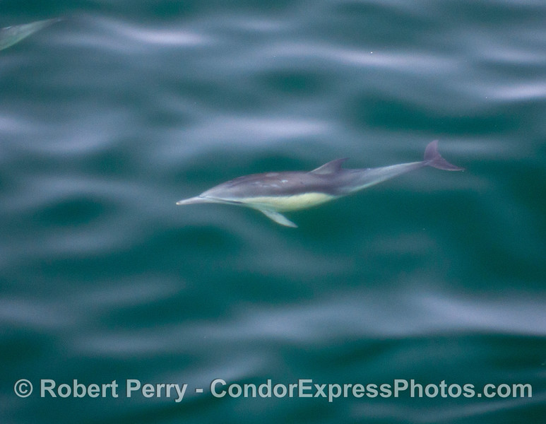 A single common dolphin (<em>Delphinus capensis</em>) - underwater.