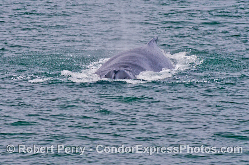A humpback whale (<em>Megaptera novaeangliae</em>) heads directly at the camera.