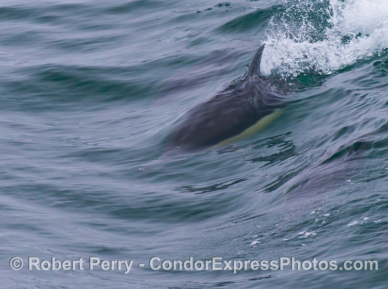 A common dolphin (<em>Delphinus capensis</em>) surfs a small open ocean wave.