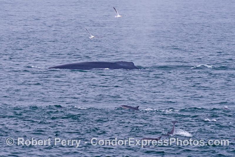 A humpback whale (<em>Megaptera novaeangliae</em>) and common dolphins (<em>Delphinus capensis</em>).