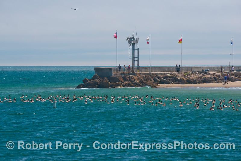 Brown pelicans (<em>Pelecanus occidentalis</em>) seek refuge in the calm, turquoise waters of Santa Barbara Harbor.