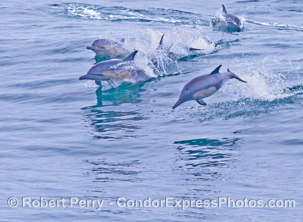 More leaping common dolphins (Delphinus capensis).