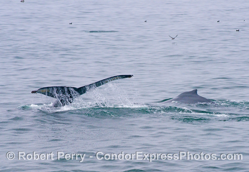 The tail flukes of one humpback whale (Megaptera novaeangliae) and the dorsal fin of another are seen in this image.
