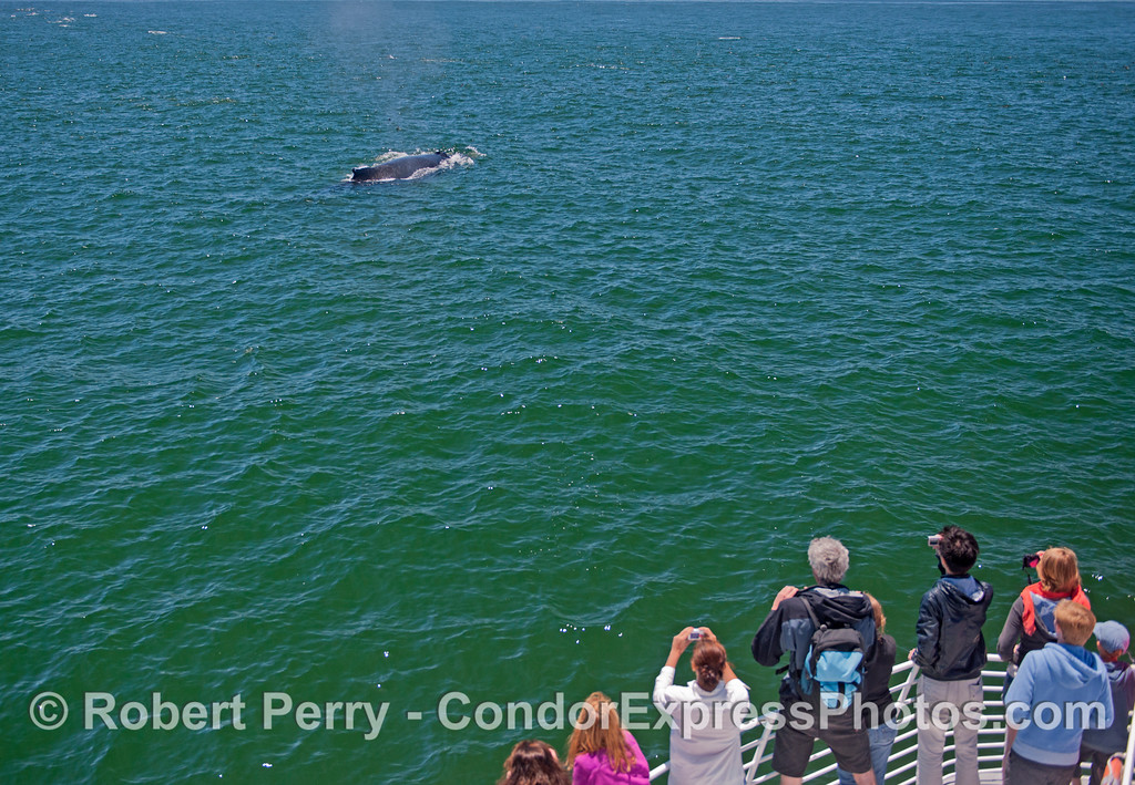 Whale watchers get a nice look at a humpback whales (<em>Megaptera novaeangliae</em>).