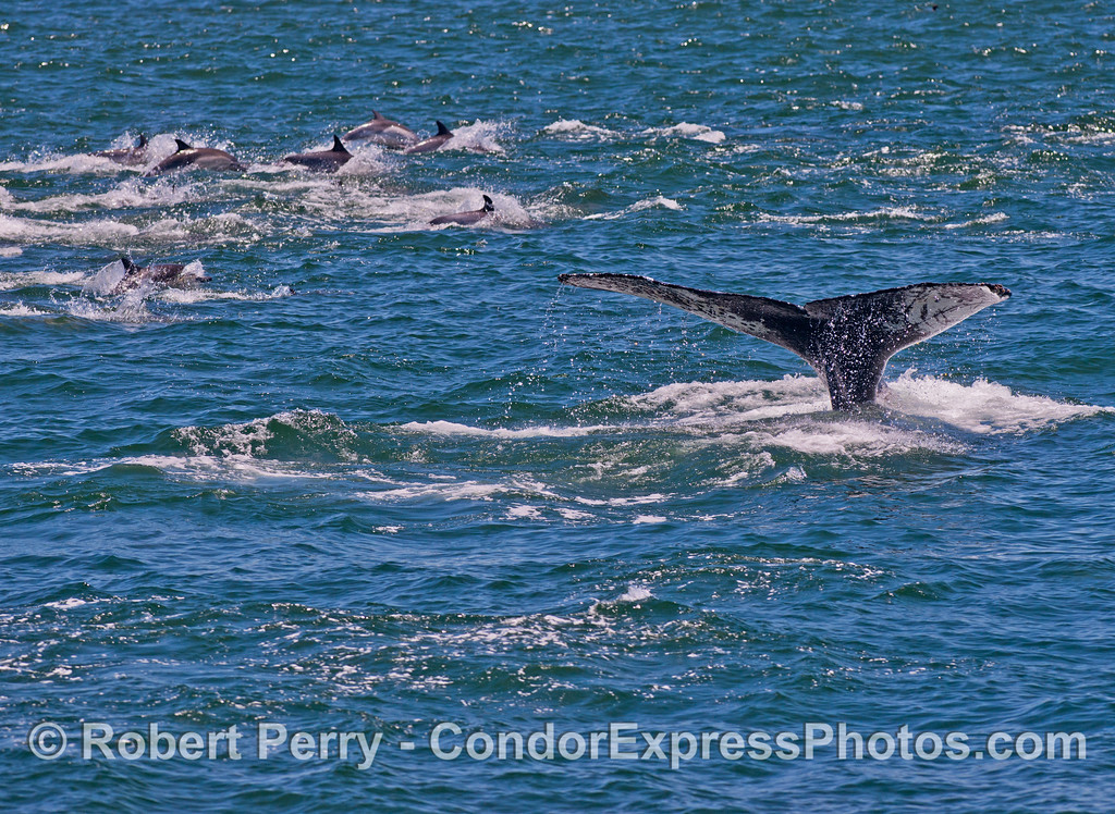 A humpback whale (Megaptera novaeangliae) is surrounded by a herd of common dolphins (Delphinus capensis) as it shows its tail flukes.