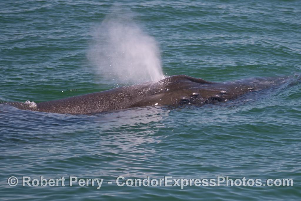 A very close look at a spouting humpback whale (<em>Megaptera novaeangliae</em>).