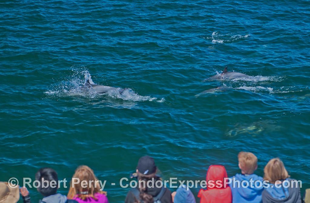 Delphinus capensis & passengers 2013 06-26 SB Channel-002