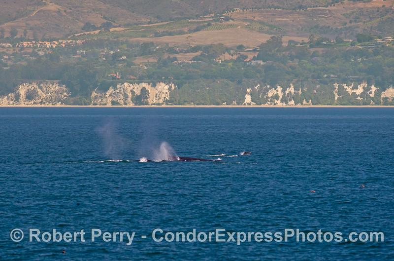 A group of humpback whales (<em>Megaptera novaeangliae</em>) travels east along the western Santa Barbara coast.
