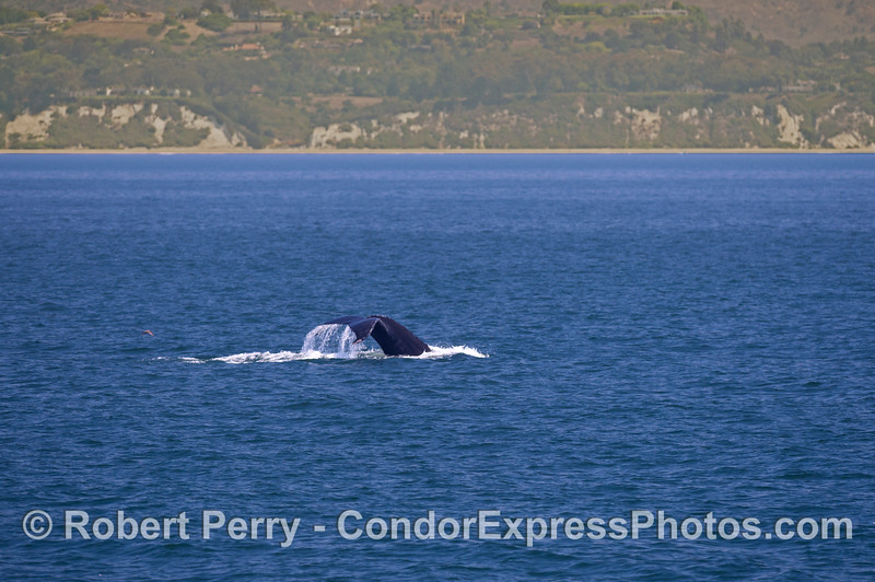A humpback whale (<em>Megaptera novaeangliae</em>) flukes up along the western Santa Barbara coast.