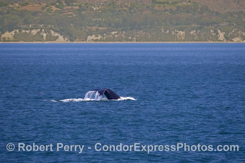 A humpback whale (<em>Megaptera novaeangliae</em>) flukes up along the western Santa Barbara coast.