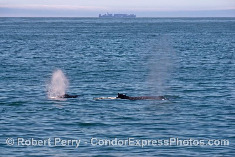 Two humpback whales (<em>Megaptera novaeangliae</em>) and a container cargo vessel.