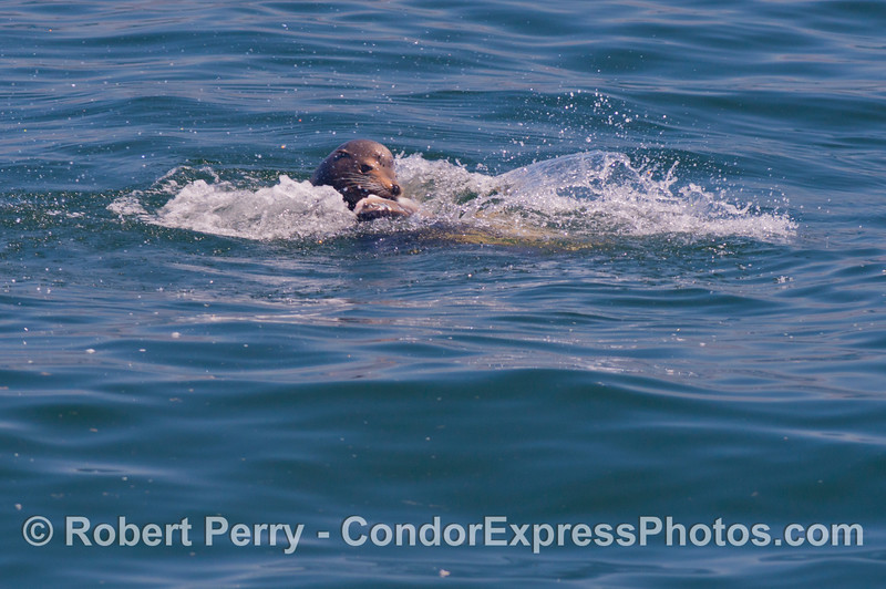 A California sea lion (<em>Zalophus californianus</em>) is observed feeding on an ocean sunfish (<em>Mola mola</em>).