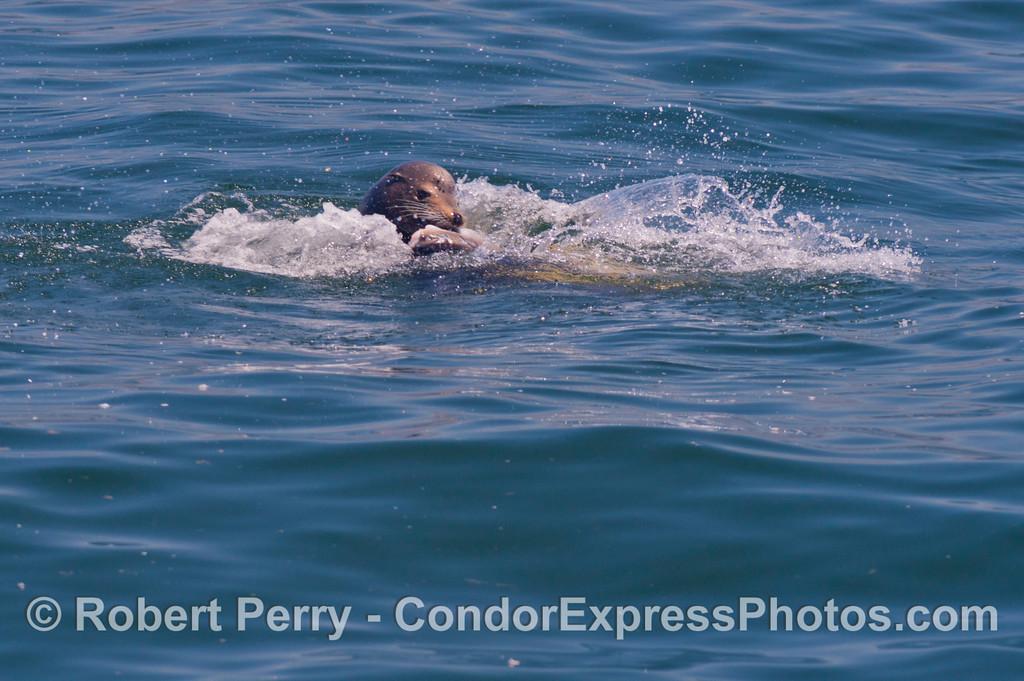 A California sea lion (<em>Zalophus californianus</em>) is observed feeding on an ocean sunfish (<em>Mola mola</em>).
