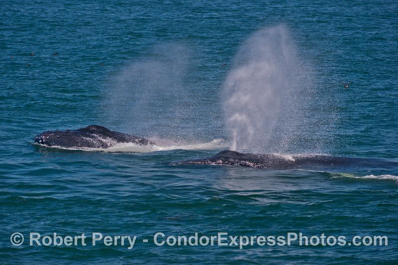Twin spouting humpback whales (<em>Megaptera novaeangliae</em>).