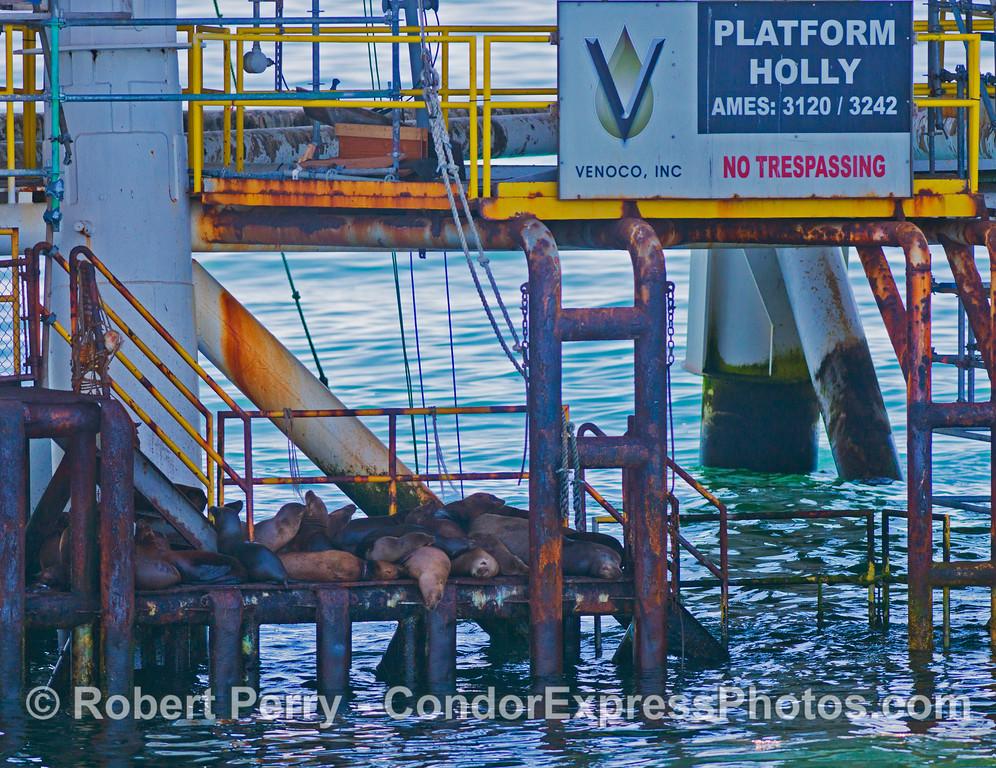 California sea lions (<em>Zalophus californianus</em>) make a pile of fur on a loading platform - Platform Holly.