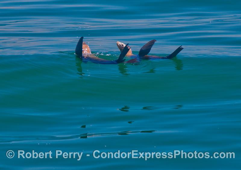Two rafting California sea lions (<em>Zalophus californianus</em>).